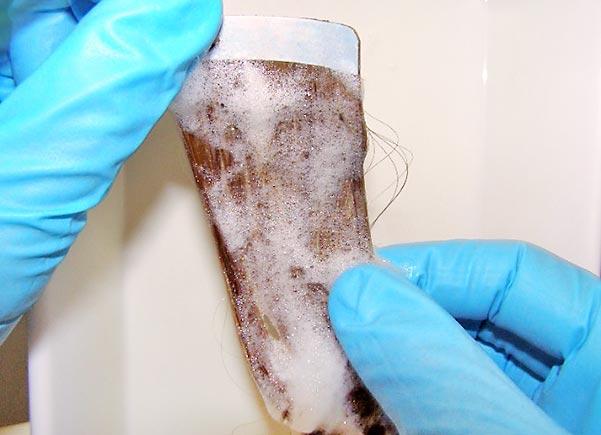 Incubation des poux avec le produit testé sur une souche de cheveux
