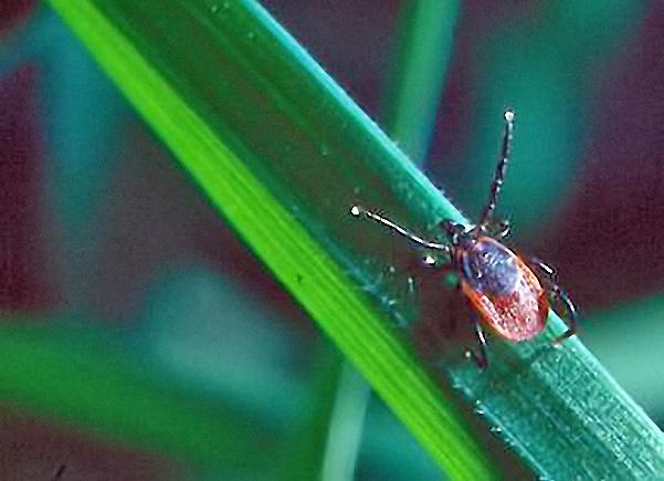 <i>I. ricinus</i> Weibchen in Lauerstellung