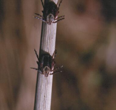 Weibliche <i>D. reticulatus</i> in Lauerposition auf einem trockenen Halm. Im Gegensatz zu <i>I. ricinus</i> sitzt diese Art stets mit dem Kopf nach unten.
