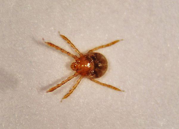 larva (about 0.5 mm) of the brown dog tick