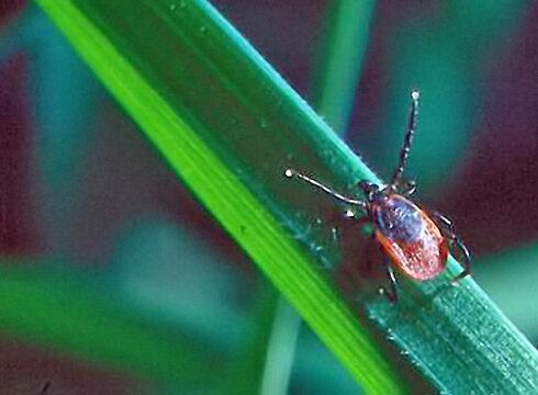 <i>I. ricinus femelle</i> en position d'attente